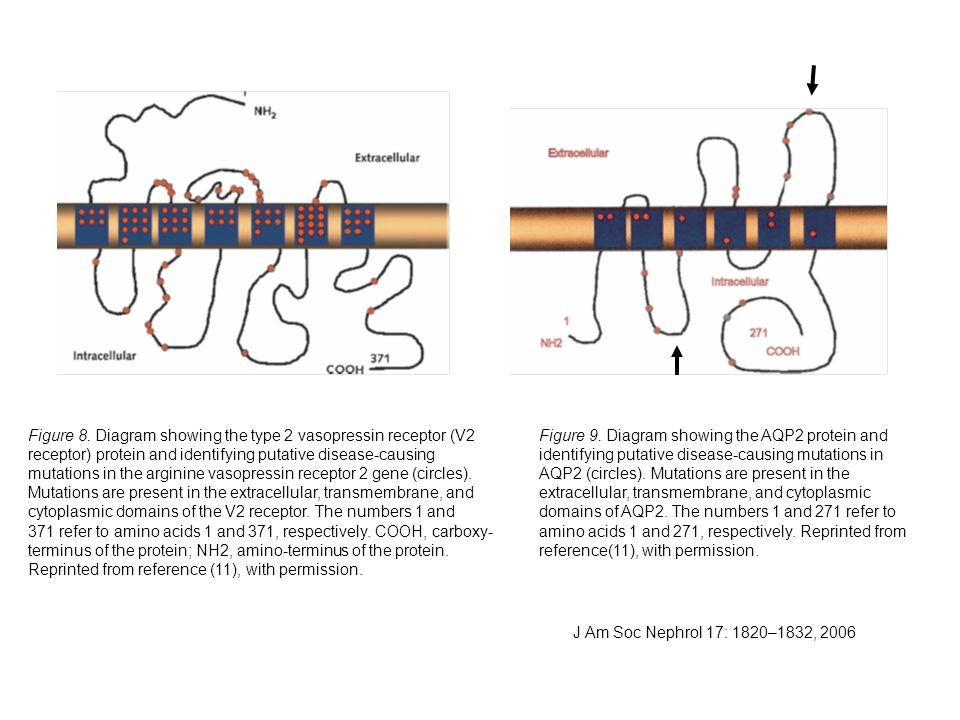 Figure 8. Diagram showing the type 2 vasopressin receptor (V2 receptor) protein and identifying putative disease-causing mutations in the arginine vas
