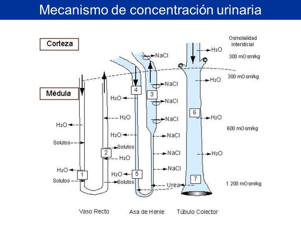 Mecanismo de concentración urinaria