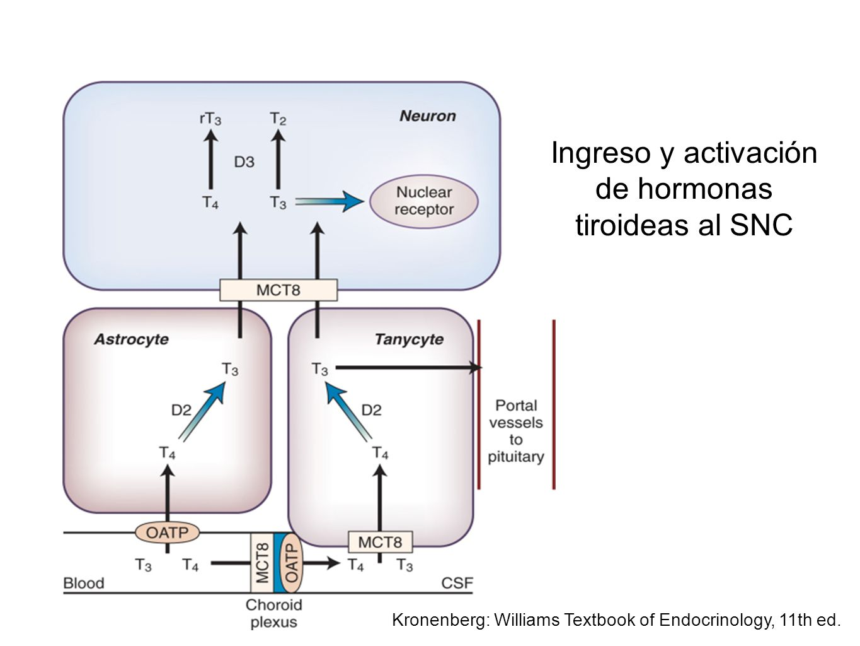 Kronenberg: Williams Textbook of Endocrinology, 11th ed. Ingreso y activación de hormonas tiroideas al SNC