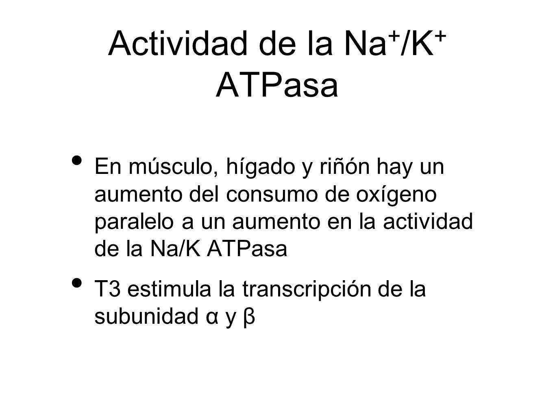 Actividad de la Na + /K + ATPasa En músculo, hígado y riñón hay un aumento del consumo de oxígeno paralelo a un aumento en la actividad de la Na/K ATP