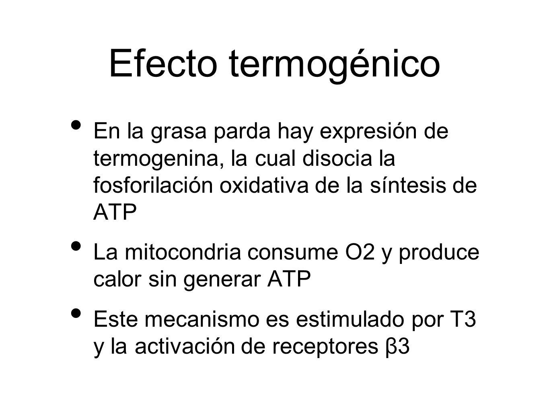Efecto termogénico En la grasa parda hay expresión de termogenina, la cual disocia la fosforilación oxidativa de la síntesis de ATP La mitocondria con