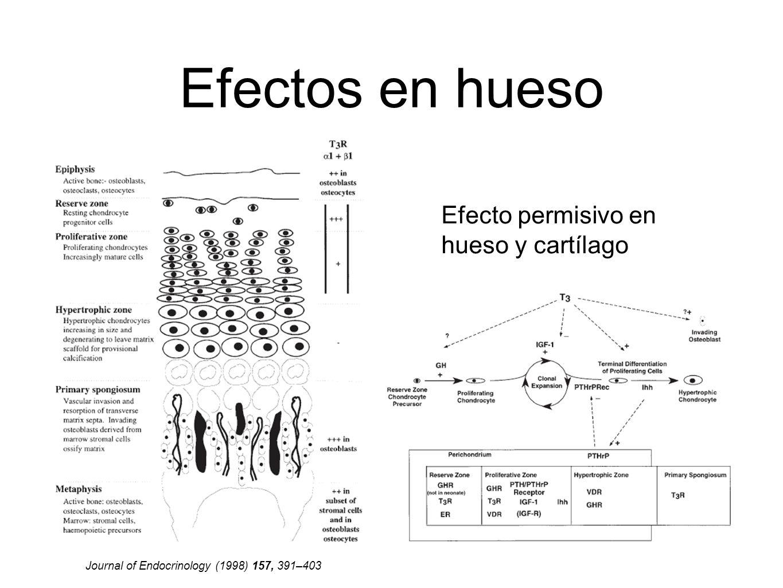Efectos en hueso Journal of Endocrinology (1998) 157, 391–403 Efecto permisivo en hueso y cartílago