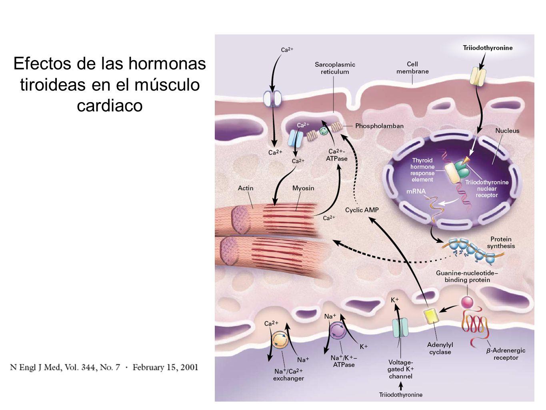 Efectos de las hormonas tiroideas en el músculo cardiaco