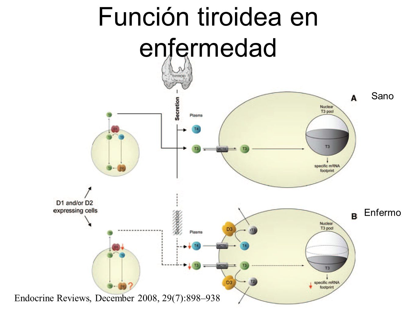 Función tiroidea en enfermedad Endocrine Reviews, December 2008, 29(7):898–938 Enfermo Sano