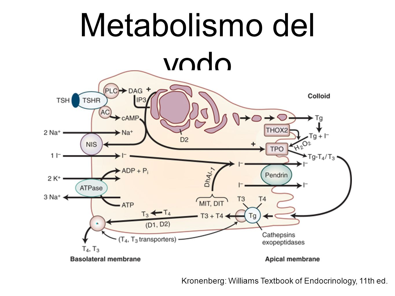 Metabolismo del yodo Kronenberg: Williams Textbook of Endocrinology, 11th ed.
