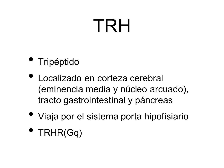 TRH Tripéptido Localizado en corteza cerebral (eminencia media y núcleo arcuado), tracto gastrointestinal y páncreas Viaja por el sistema porta hipofi
