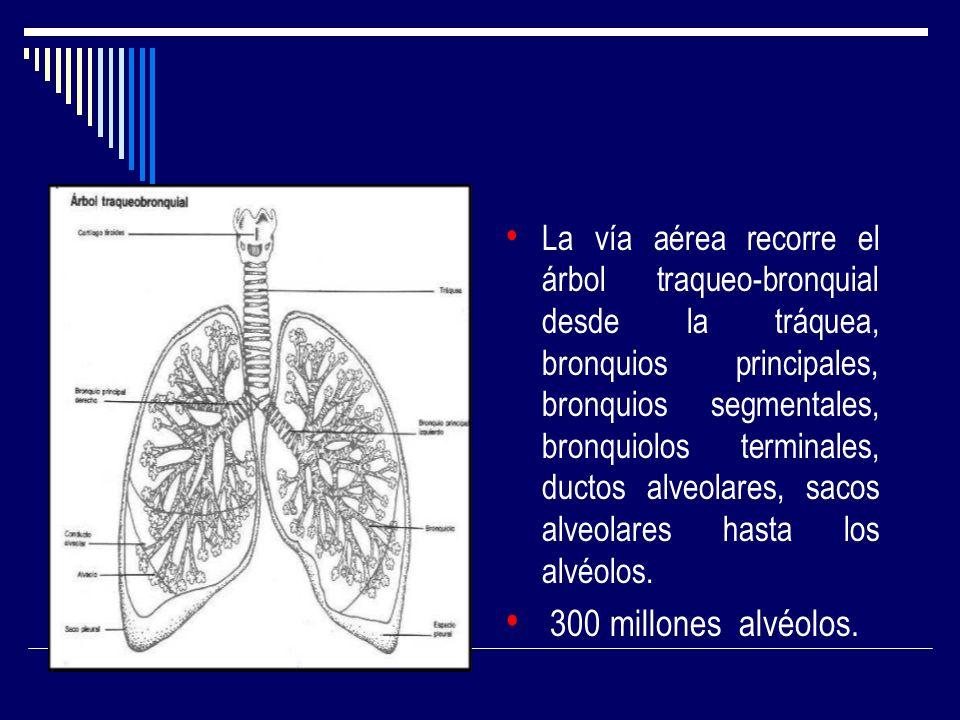 La vía aérea recorre el árbol traqueo-bronquial desde la tráquea, bronquios principales, bronquios segmentales, bronquiolos terminales, ductos alveola