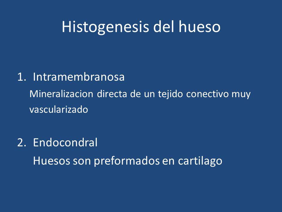 Histogenesis del hueso 1.Intramembranosa Mineralizacion directa de un tejido conectivo muy vascularizado 2.Endocondral Huesos son preformados en carti