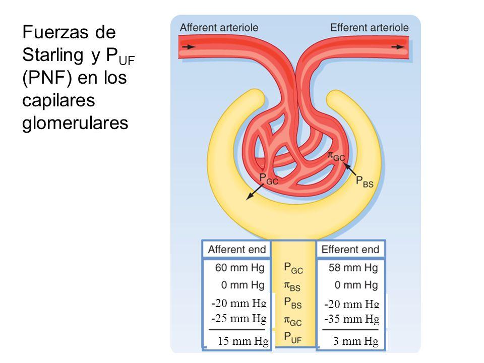 -20 mm Hg -25 mm Hg -35 mm Hg 15 mm Hg 3 mm Hg Fuerzas de Starling y P UF (PNF) en los capilares glomerulares