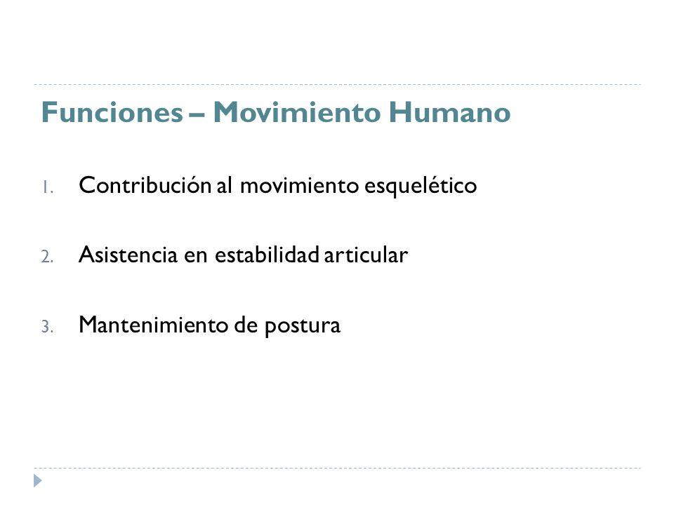 Funciones – Movimiento Humano 1. Contribución al movimiento esquelético 2. Asistencia en estabilidad articular 3. Mantenimiento de postura