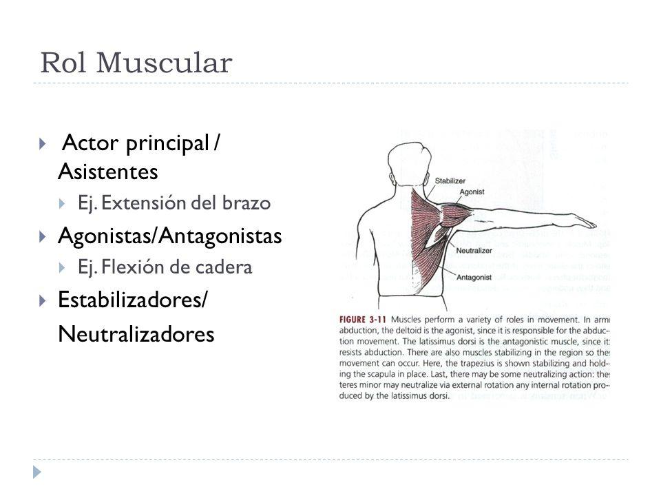 Rol Muscular Actor principal / Asistentes Ej. Extensión del brazo Agonistas/Antagonistas Ej. Flexión de cadera Estabilizadores/ Neutralizadores