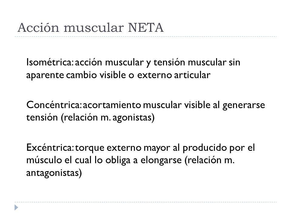 Acción muscular NETA Isométrica: acción muscular y tensión muscular sin aparente cambio visible o externo articular Concéntrica: acortamiento muscular