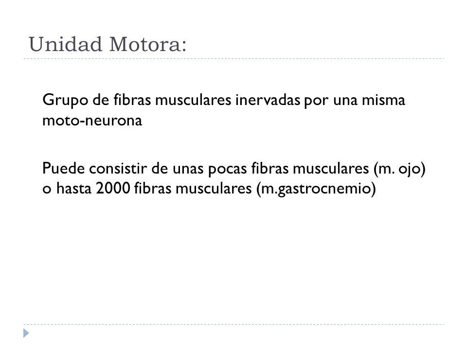 Unidad Motora: Grupo de fibras musculares inervadas por una misma moto-neurona Puede consistir de unas pocas fibras musculares (m. ojo) o hasta 2000 f