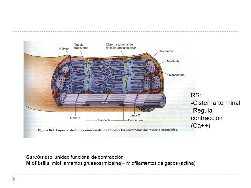 Sarcómero: unidad funcional de contracción Miofibrilla: miofilamentos gruesos (miosina)+ miofilamentos delgados (actina) RS: -Cisterna terminal -Regul
