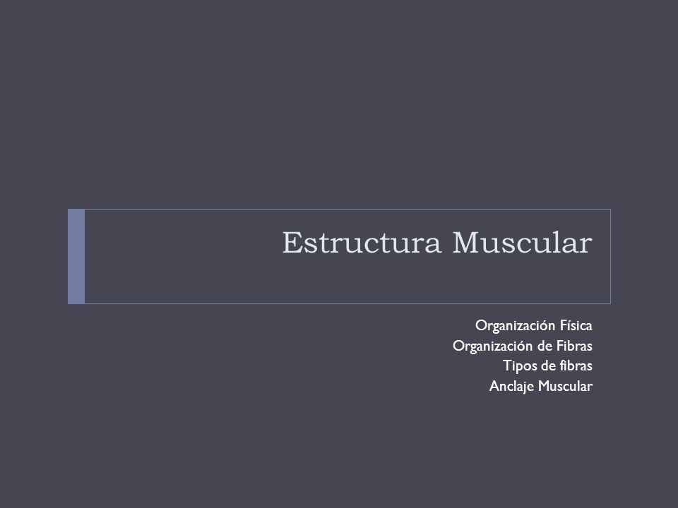 Organización Física Organización Grupal Grupos Musculares: -Compartimientos divididos por fascia (lámina de tejido fibroso) -Grupos funcionales -Inervación -Sd.