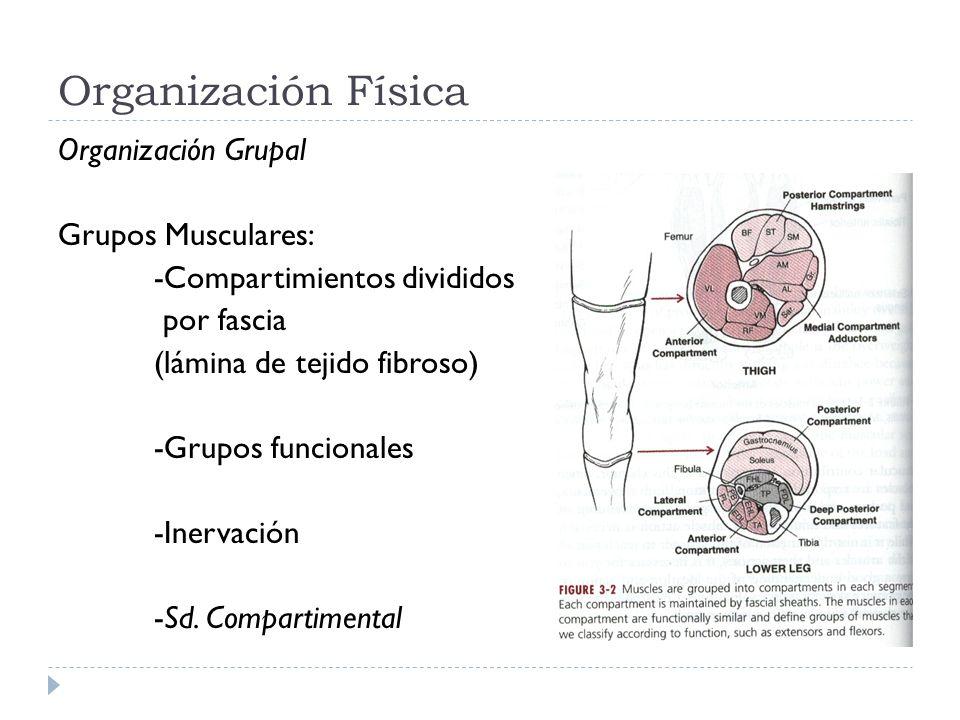 Organización Física Organización Grupal Grupos Musculares: -Compartimientos divididos por fascia (lámina de tejido fibroso) -Grupos funcionales -Inerv