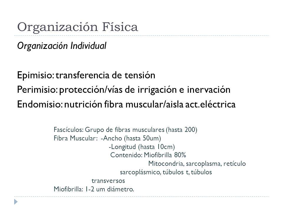 Organización Física Organización Individual Epimisio: transferencia de tensión Perimisio: protección/vías de irrigación e inervación Endomisio: nutric