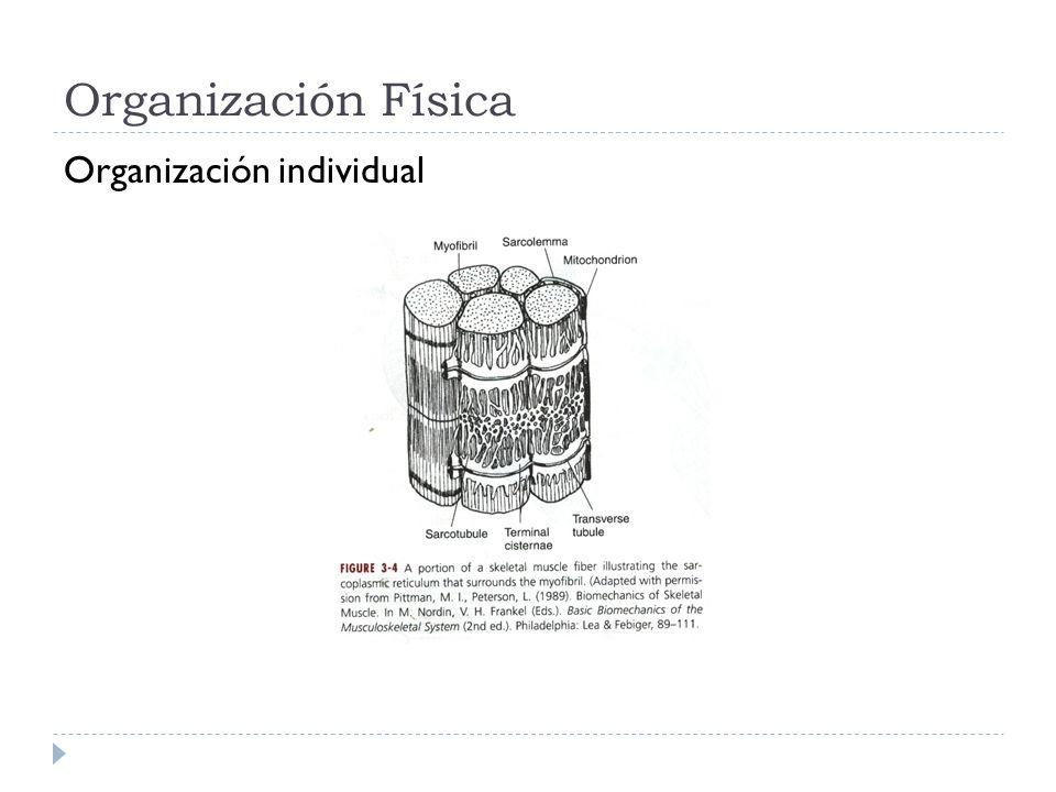 Organización fibras Fusiformes Peniformes