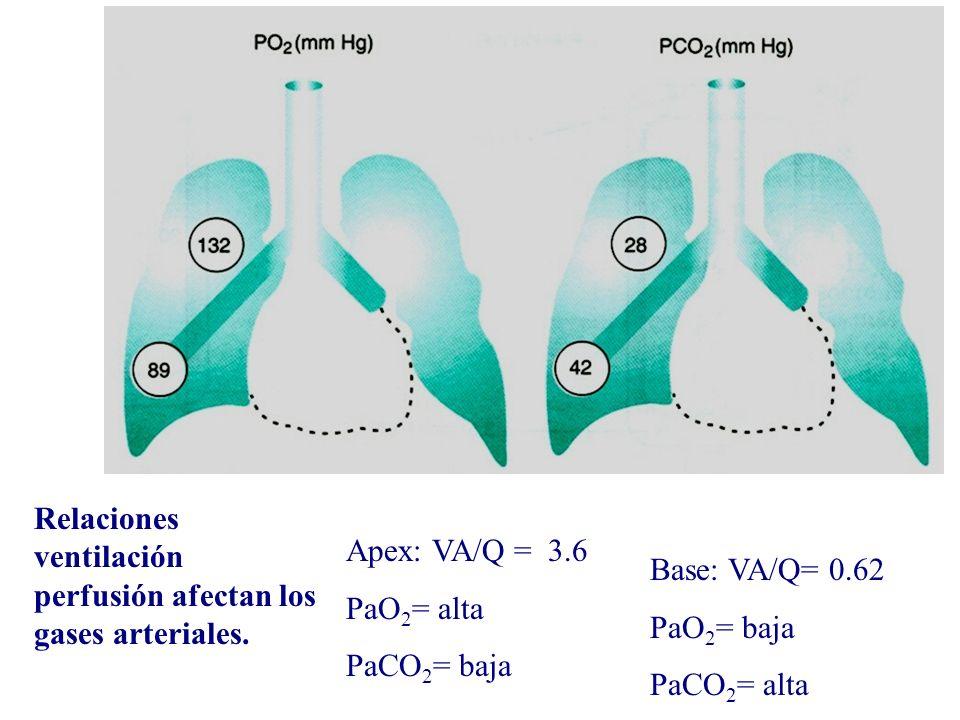 Relaciones ventilación perfusión afectan los gases arteriales. Apex: VA/Q = 3.6 PaO 2 = alta PaCO 2 = baja Base: VA/Q= 0.62 PaO 2 = baja PaCO 2 = alta
