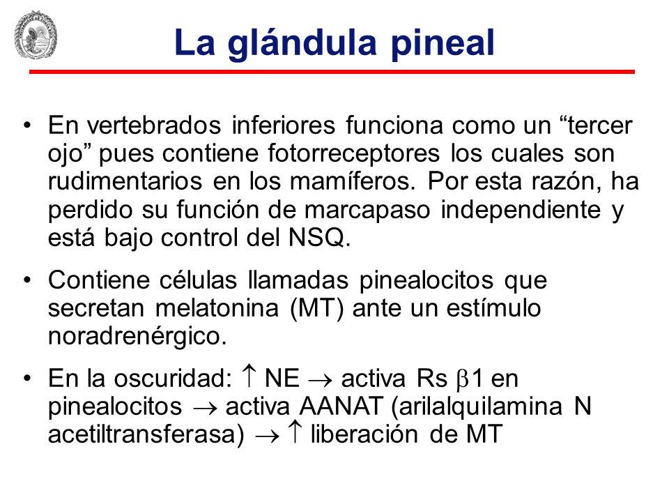 Único Anatomía De La Glándula Pineal Adorno - Imágenes de Anatomía ...