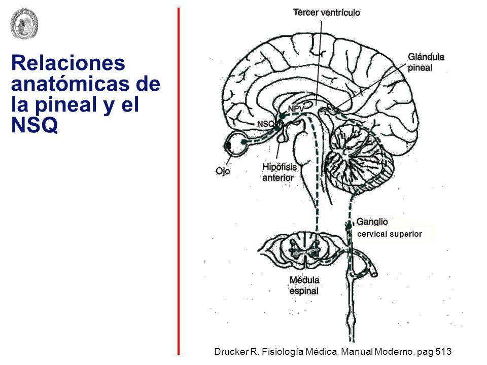 Relaciones anatómicas de la pineal y el NSQ Drucker R. Fisiología Médica. Manual Moderno. pag 513 cervical superior