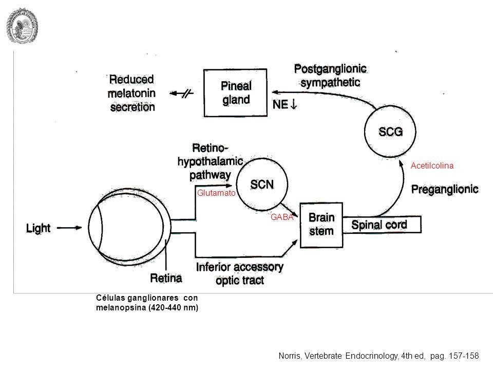 Células ganglionares con melanopsina (420-440 nm) Glutamato GABA Acetilcolina Norris, Vertebrate Endocrinology, 4th ed, pag. 157-158