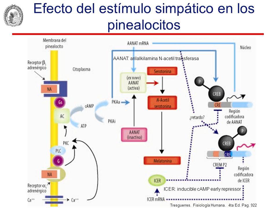 Efecto del estímulo simpático en los pinealocitos ICER: inducible cAMP early repressor AANAT: arilalkilamina N-acetil transferasa Tresguerres. Fisiolo