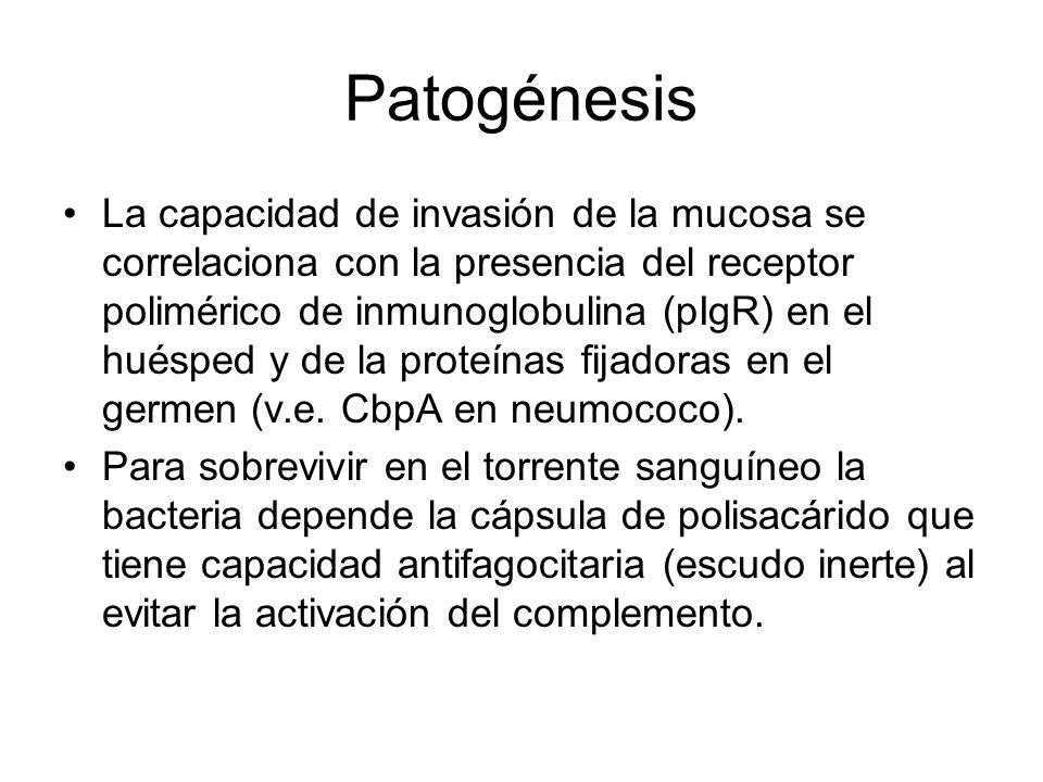 Patogénesis La capacidad de invasión de la mucosa se correlaciona con la presencia del receptor polimérico de inmunoglobulina (pIgR) en el huésped y d