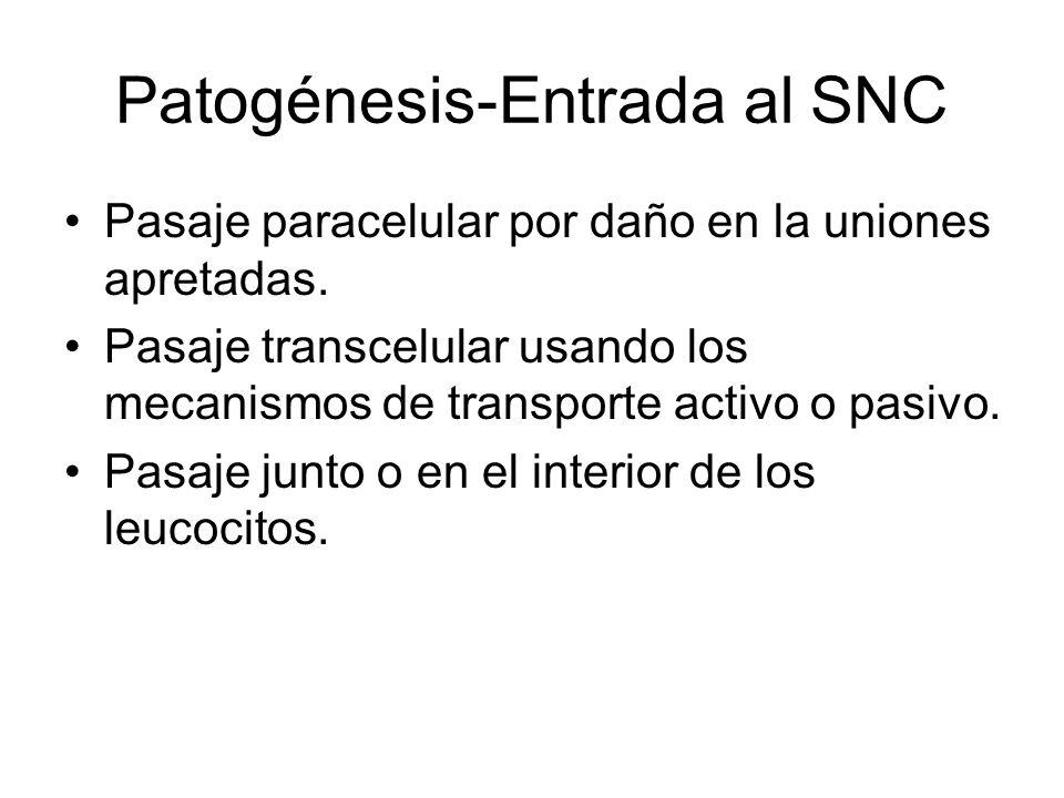 Patogénesis-Entrada al SNC Pasaje paracelular por daño en la uniones apretadas. Pasaje transcelular usando los mecanismos de transporte activo o pasiv