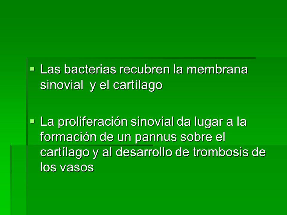 Las bacterias recubren la membrana sinovial y el cartílago Las bacterias recubren la membrana sinovial y el cartílago La proliferación sinovial da lug