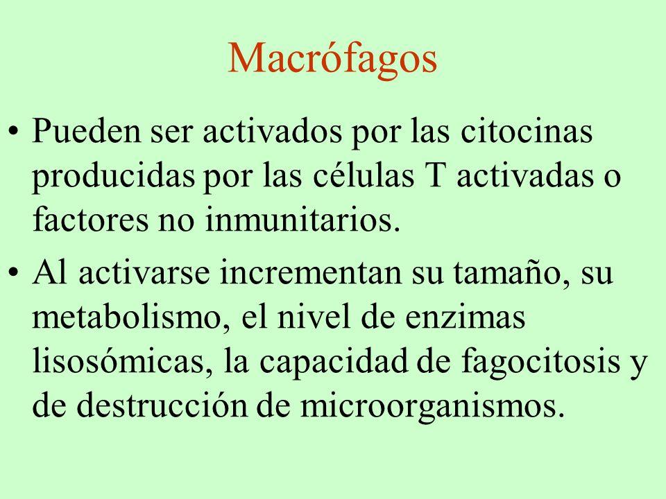 Macrófagos Pueden ser activados por las citocinas producidas por las células T activadas o factores no inmunitarios. Al activarse incrementan su tamañ