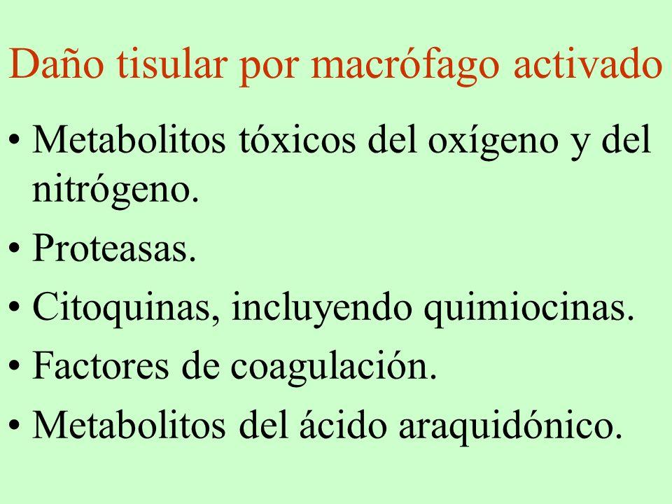 Daño tisular por macrófago activado Metabolitos tóxicos del oxígeno y del nitrógeno. Proteasas. Citoquinas, incluyendo quimiocinas. Factores de coagul