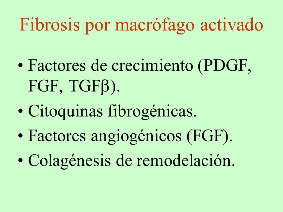 Fibrosis por macrófago activado Factores de crecimiento (PDGF, FGF, TGF ). Citoquinas fibrogénicas. Factores angiogénicos (FGF). Colagénesis de remode