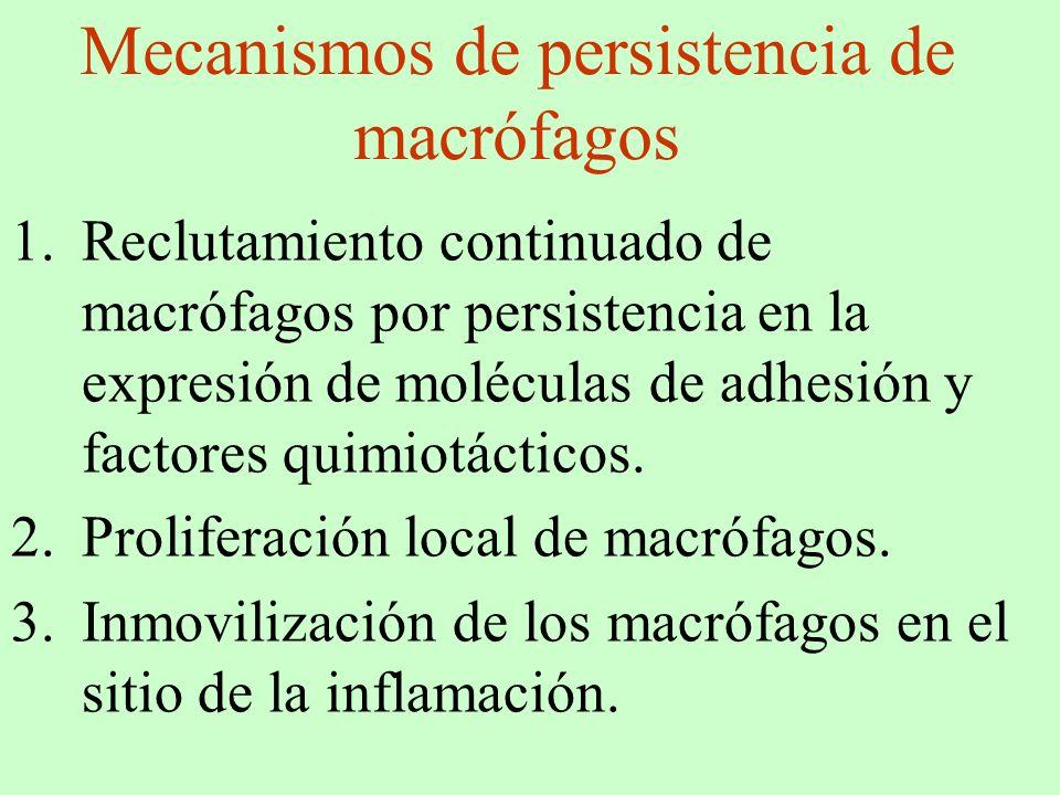 Mecanismos de persistencia de macrófagos 1.Reclutamiento continuado de macrófagos por persistencia en la expresión de moléculas de adhesión y factores
