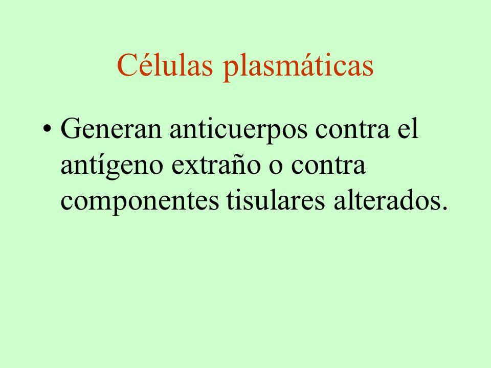 Células plasmáticas Generan anticuerpos contra el antígeno extraño o contra componentes tisulares alterados.