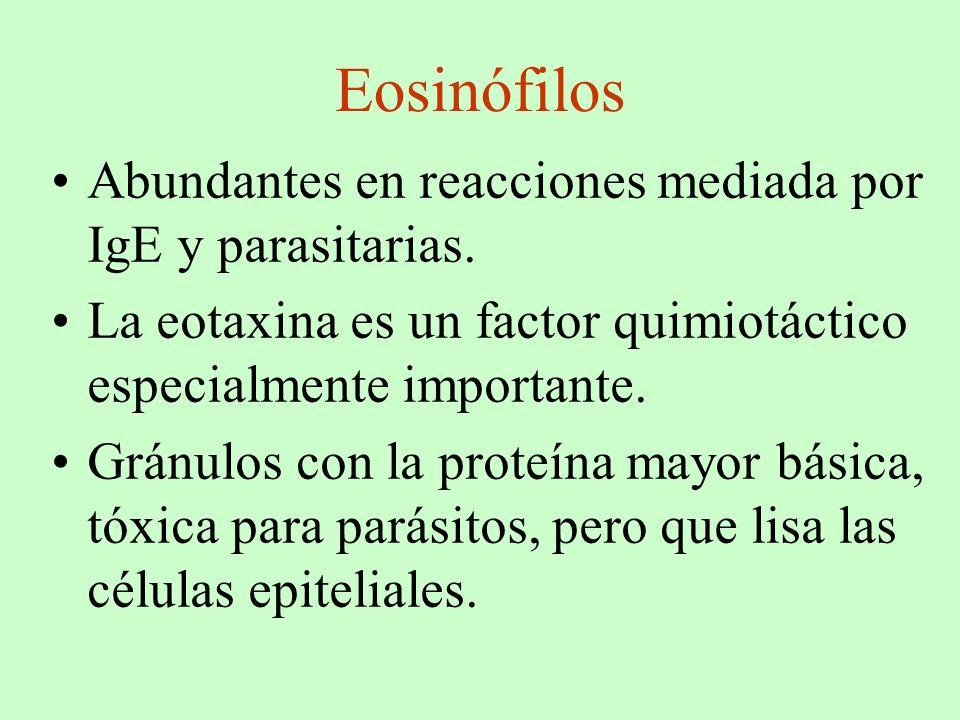 Eosinófilos Abundantes en reacciones mediada por IgE y parasitarias. La eotaxina es un factor quimiotáctico especialmente importante. Gránulos con la