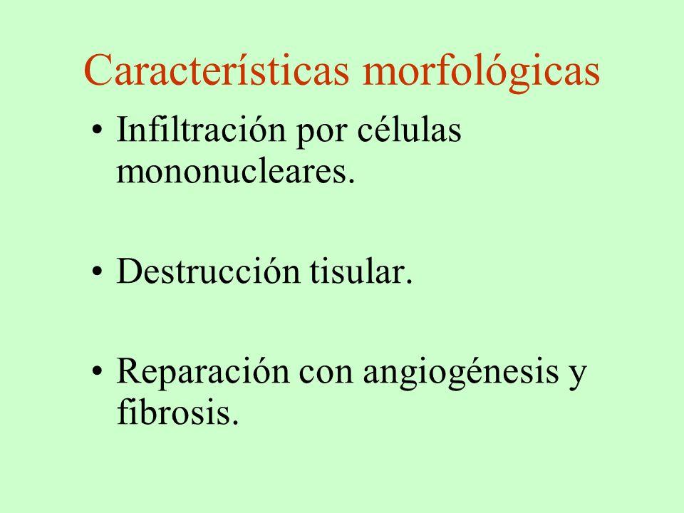Características morfológicas Infiltración por células mononucleares. Destrucción tisular. Reparación con angiogénesis y fibrosis.