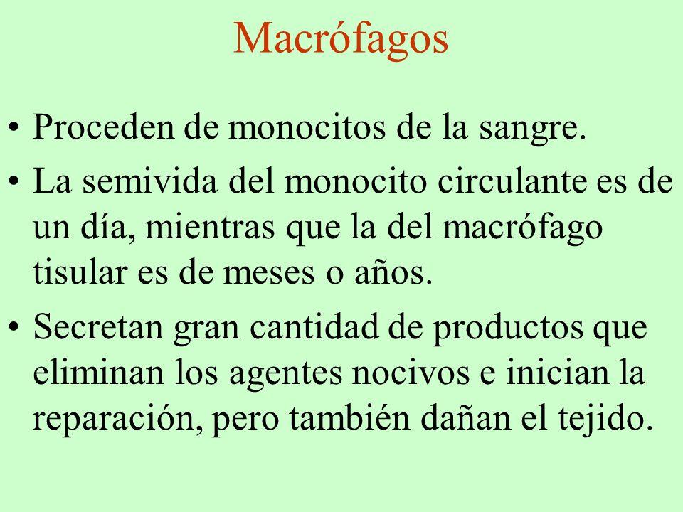Macrófagos Proceden de monocitos de la sangre. La semivida del monocito circulante es de un día, mientras que la del macrófago tisular es de meses o a