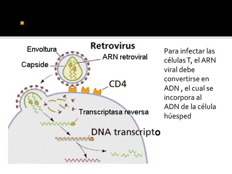 Acción de la transcriptasa reversa. Para infectar las células T, el ARN viral debe convertirse en ADN, el cual se incorpora al ADN de la célula húespe