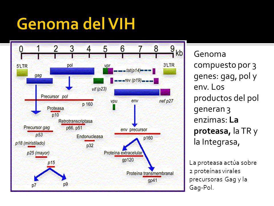 Genoma compuesto por 3 genes: gag, pol y env. Los productos del pol generan 3 enzimas: La proteasa, la TR y la Integrasa, La proteasa actúa sobre 2 pr