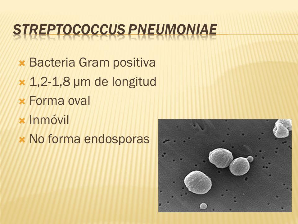 Bacteria Gram positiva 1,2-1,8 µm de longitud Forma oval Inmóvil No forma endosporas