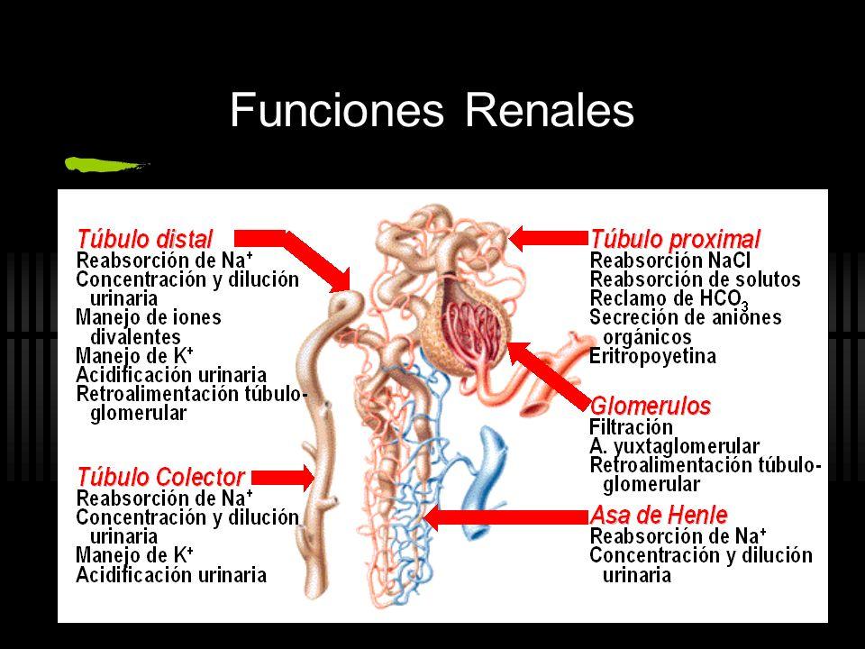 IRA Intr í nseca Da ñ o tisular agudo del parénquima renal Glomerular Vascular Tubular Intersticial La forma más frecuente de IRA es la NECROSIS TUBULAR AGUDA Lazarus JM, Brenner BM, eds.