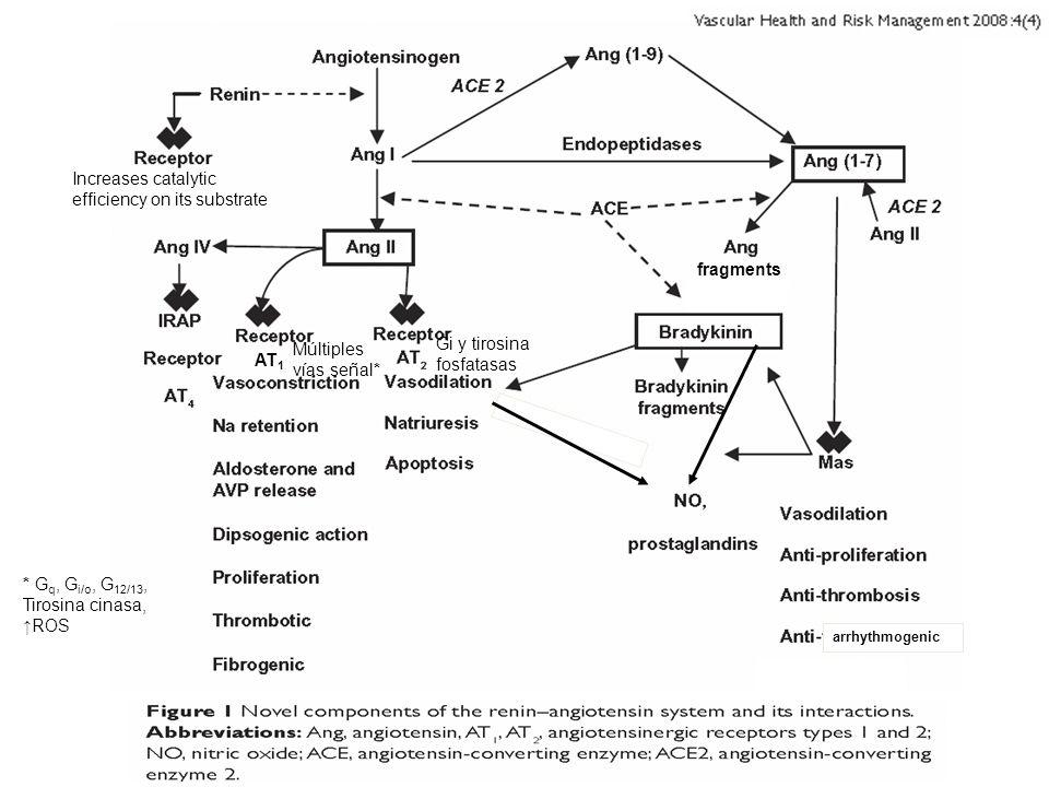 Increases catalytic efficiency on its substrate fragments AT 1 Gi y tirosina fosfatasas Múltiples vías señal* * G q, G i/o, G 12/13, Tirosina cinasa,