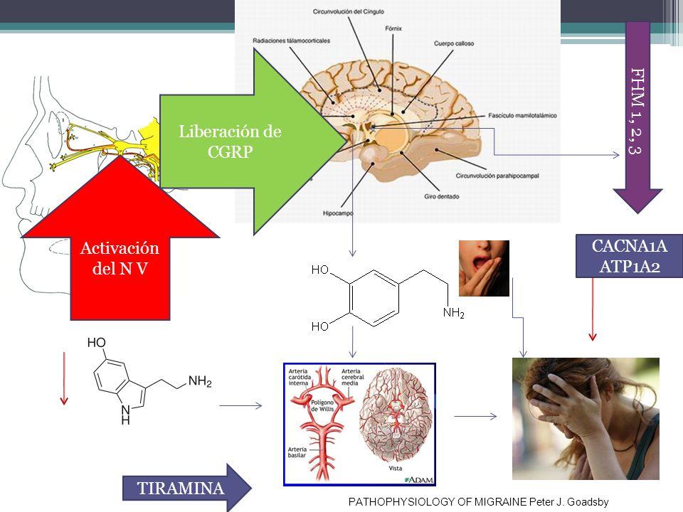 Fisiopatologia Activación del N V Liberación de CGRP FHM 1, 2, 3 PATHOPHYSIOLOGY OF MIGRAINE Peter J. Goadsby CACNA1A ATP1A2 TIRAMINA