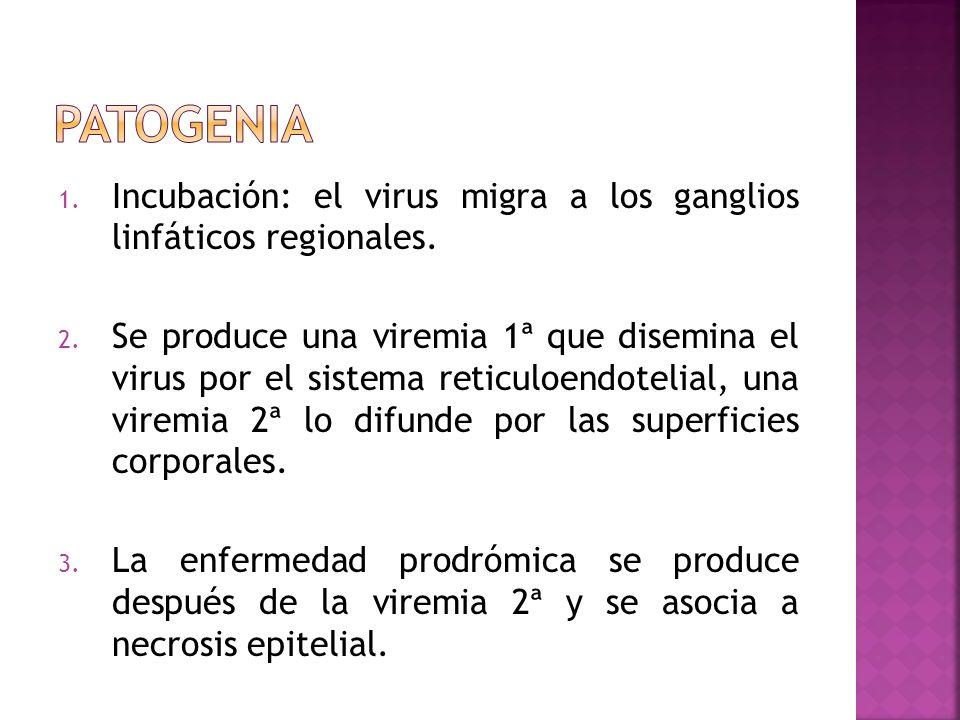 1. Incubación: el virus migra a los ganglios linfáticos regionales. 2. Se produce una viremia 1ª que disemina el virus por el sistema reticuloendoteli