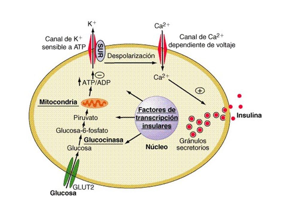 Otros secretagogos de la insulina son: Arginina y leucina Cetoácidos: alfa cetoisocaproato Cetohexosas: fructosa Boron W F, Boulpaep E.