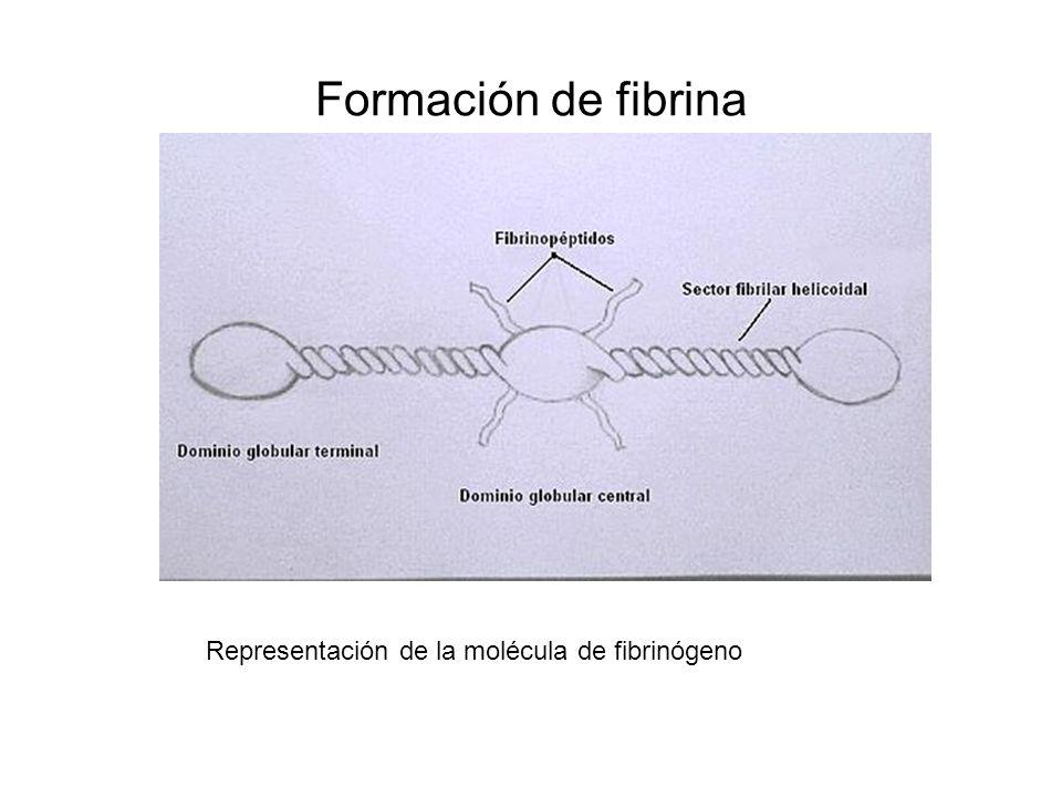 Formación de fibrina Representación de la molécula de fibrinógeno