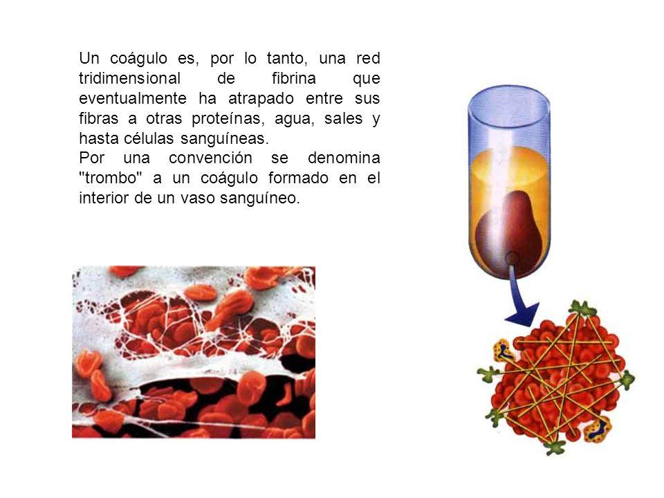 Un coágulo es, por lo tanto, una red tridimensional de fibrina que eventualmente ha atrapado entre sus fibras a otras proteínas, agua, sales y hasta c