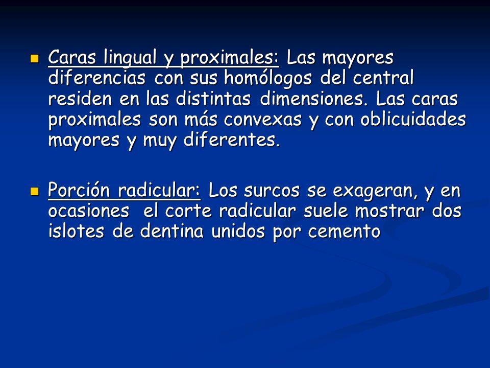 Caras lingual y proximales: Las mayores diferencias con sus homólogos del central residen en las distintas dimensiones.