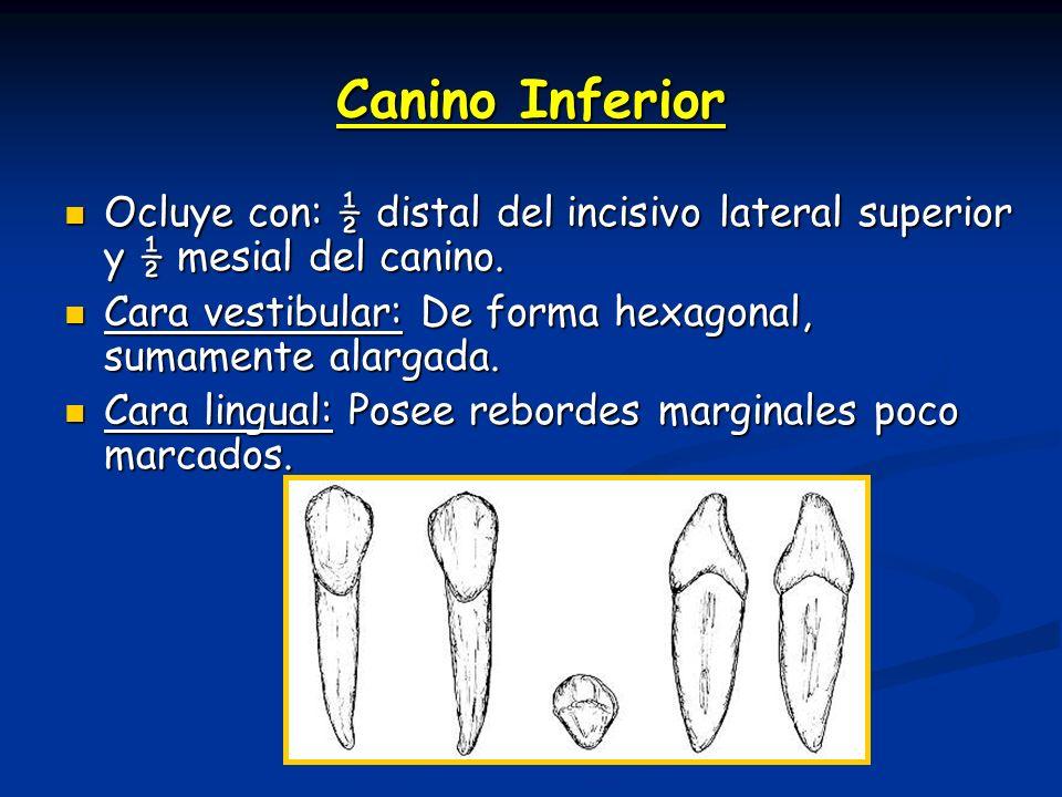 Canino Inferior Ocluye con: ½ distal del incisivo lateral superior y ½ mesial del canino. Ocluye con: ½ distal del incisivo lateral superior y ½ mesia